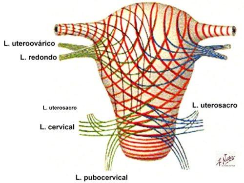 imagen fibras musculares suelo pelvico