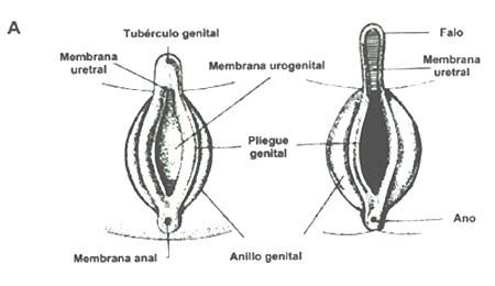 creacion de organos externos femeninos